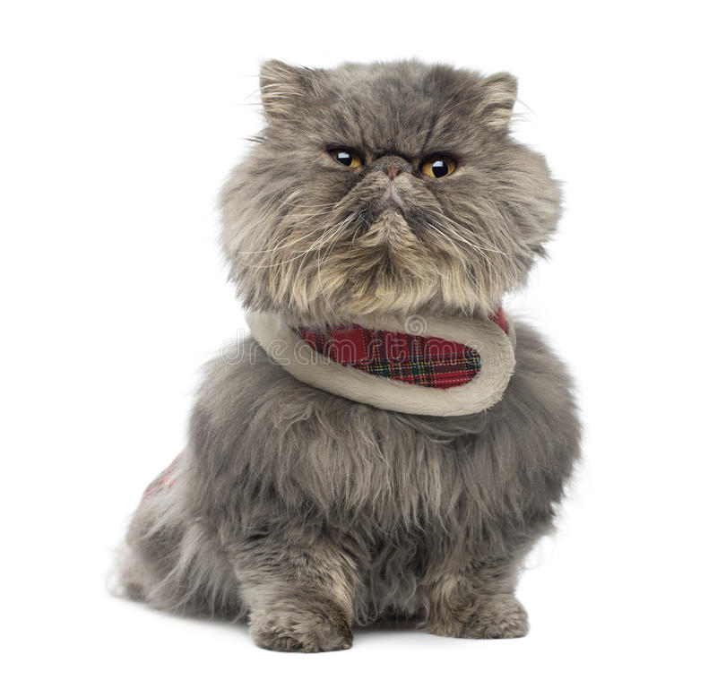 Download Front View Of A Grumpy Persian Cat Wearing A Tartan Harness Stock Photo - Image: 37852784