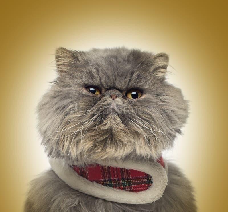 Front view of a grumpy Persian cat wearing a tartan harness stock photos