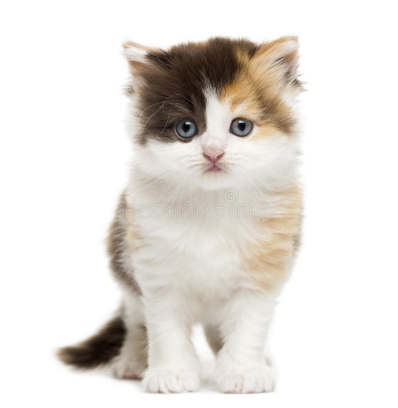 Download Front View Of A Highland Straight Kitten Standing, Isolated Stock Image - Image: 34775091