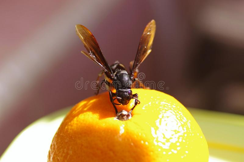 Front View Of A Hornet Royalty Free Stock Photography