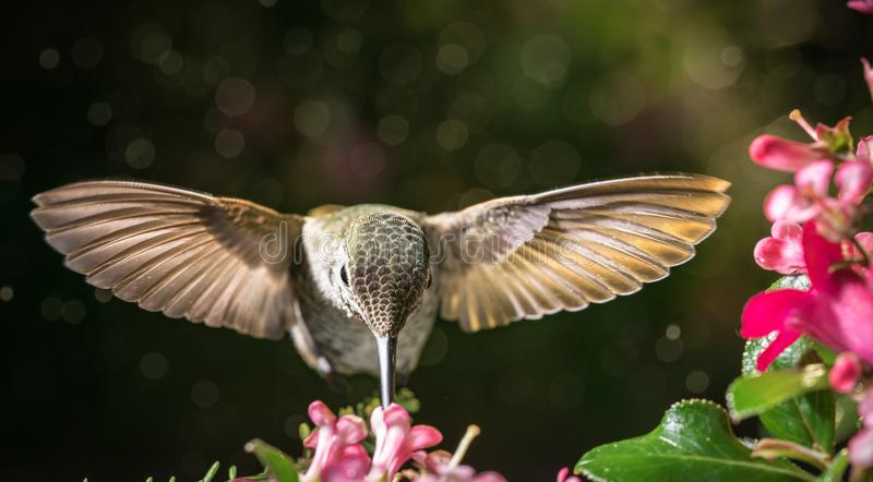 Front view. This is  a front view of a hummingbird hovering for flowers stock images