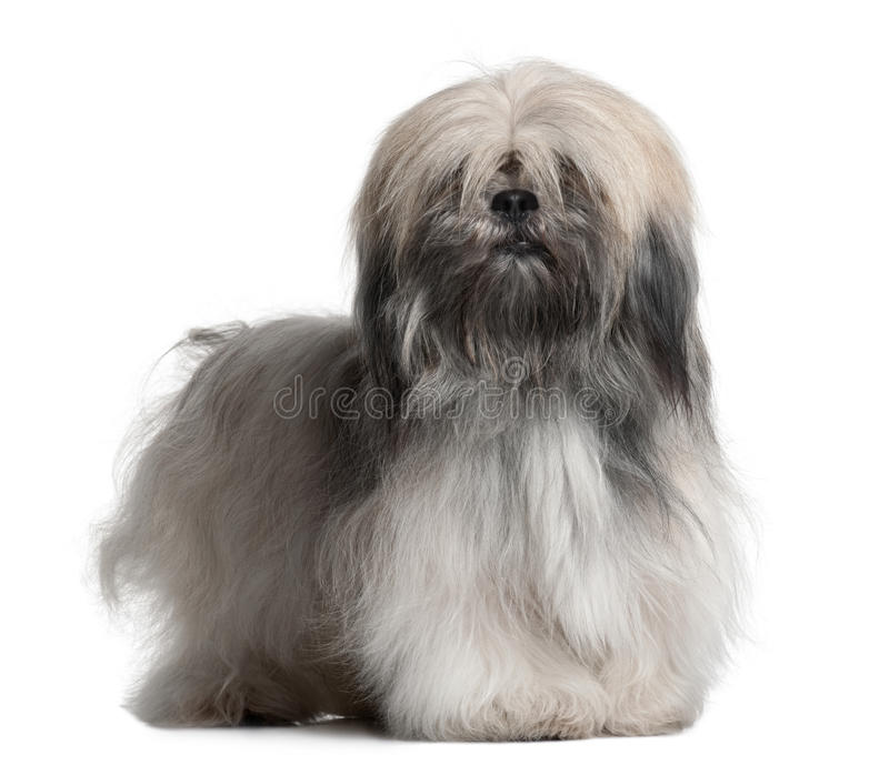 Front view of Lhassa Apso, standing. Lhassa Apso, 18 Months Old, in front of white background stock photography
