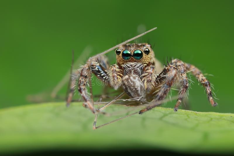 Jumping spider and prey on green leaf in nature royalty free stock photos