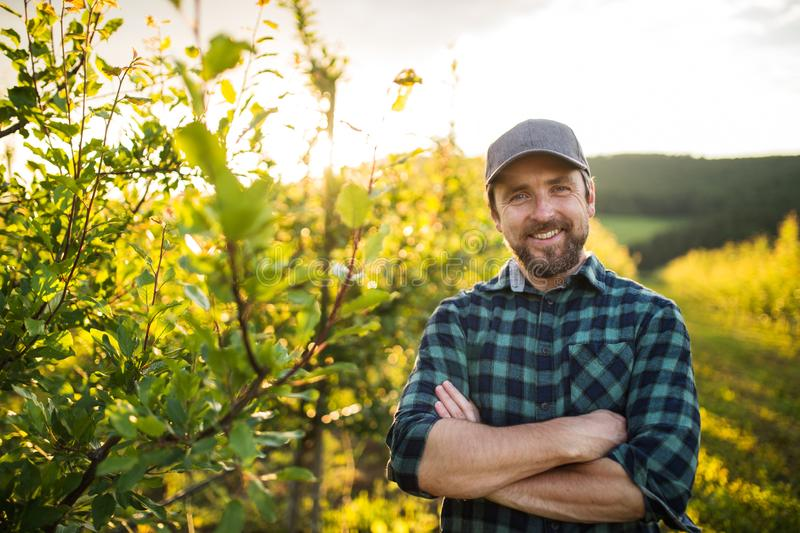 A front view of mature farmer standing in orchard at sunset. Copy space. stock photography