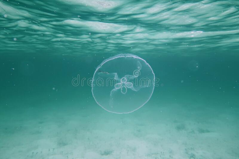 Moon jellyfish in the Bahamas royalty free stock images