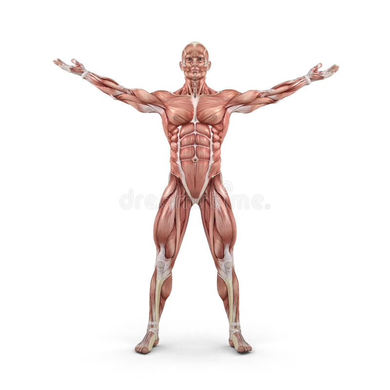 Front view of the muscular system. This is a 3d render illustration stock illustration