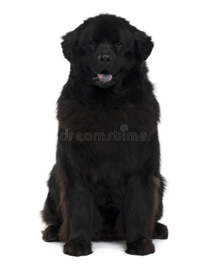 Front view of Newfoundland dog sitting royalty free stock photo