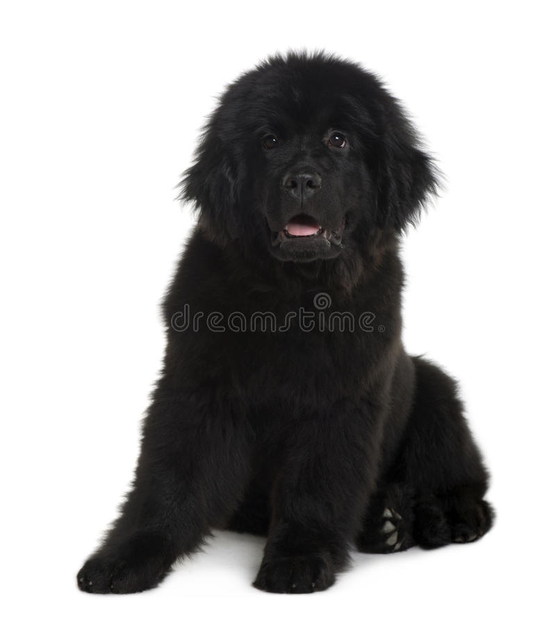 Front view of Newfoundland puppy, sitting royalty free stock images