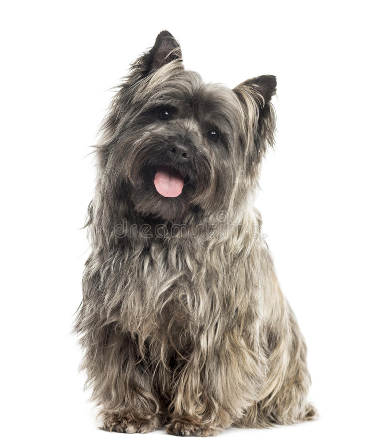 Free Front View Of A Cairn Terrier Sitting, Panting, Isolated Royalty Free Stock Images - 34065809
