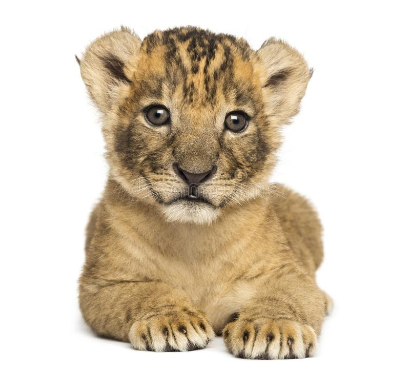 Free Front View Of A Lion Cub Lying Down, 4 Weeks Old Stock Photography - 129931602