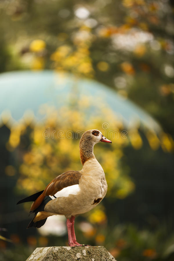 Free Front View Of Alert Colorful Wild Egyptian Goose Perched On Green Garden Hedge Royalty Free Stock Photo - 82134645