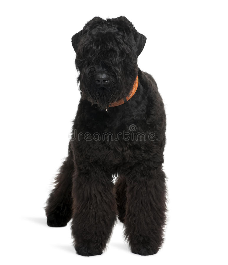 Free Front View Of Black Russian Terrier, Standing Stock Image - 12911841
