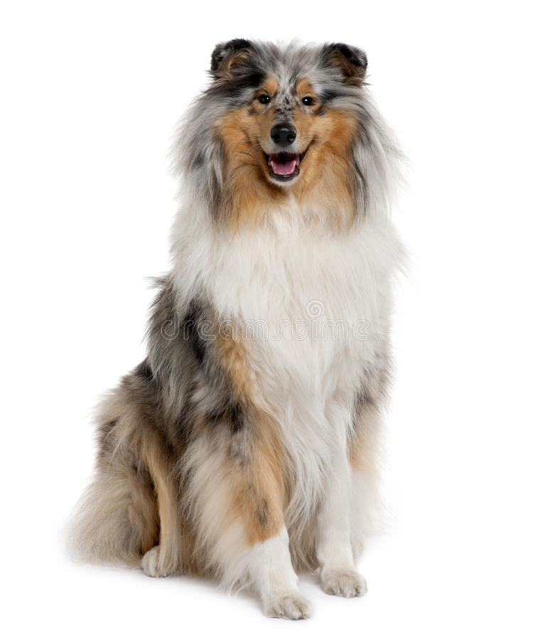 Free Front View Of Rough Collie, Sitting Stock Photography - 13664482
