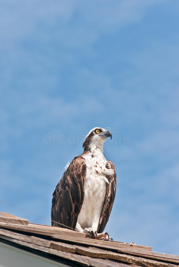 Osprey, sea bird standing on roof of a tropical pier stock photo