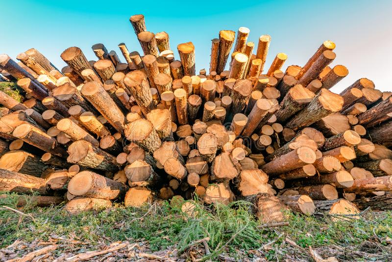 Front view of pile of pine tree logs in a forest after clear cut of forest in Northern Sweden. Very sunny summer day stock images
