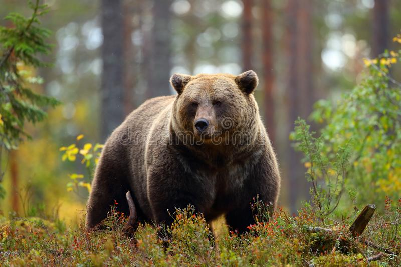 Big brown bear in a forest. Front view portrait of a big brown bear in a forest royalty free stock photography