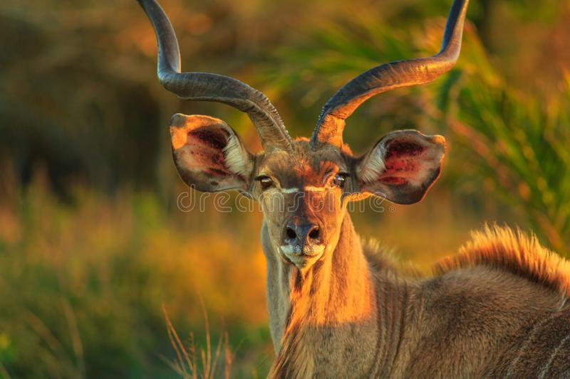 Greater kudu face. Front view of portrait of male Greater kudu, a species of antelope at sunset light. Game drive safari in iSimangaliso Wetland Park, South royalty free stock images