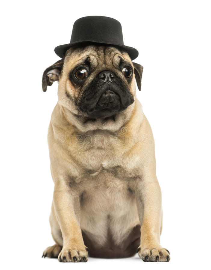 Front view of a Pug puppy wearing a top hat, sitting stock images