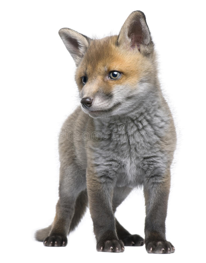 Front view of Red fox cub, 6 Weeks old, standing stock photos