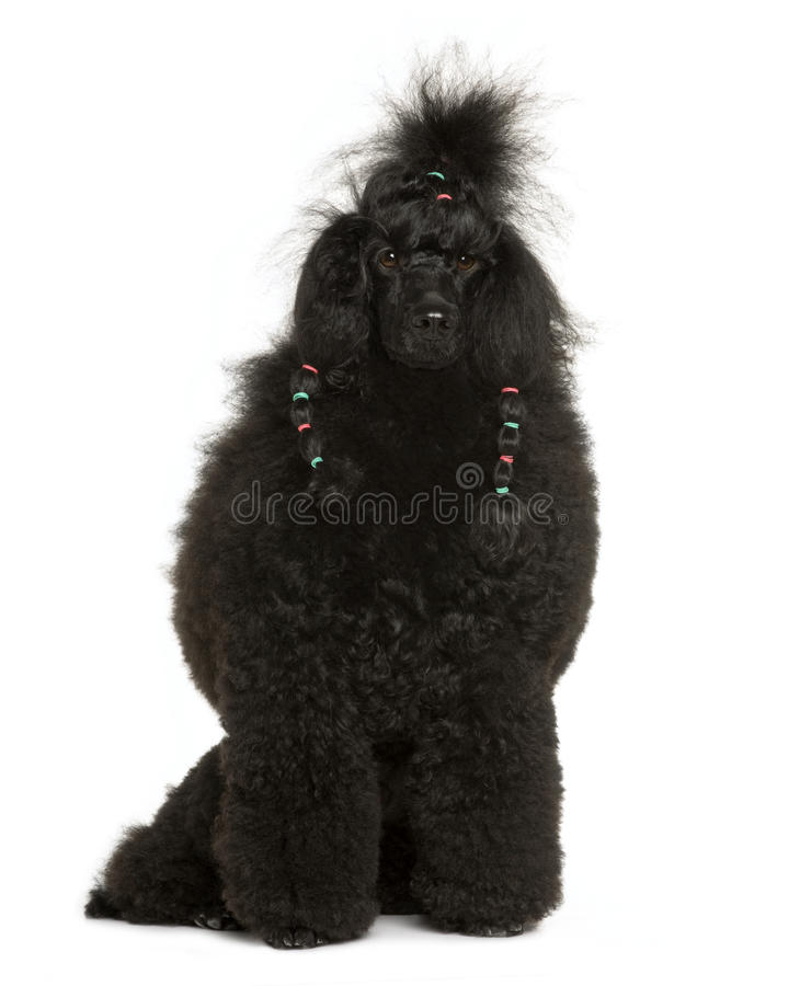 Front view of Royal Poodle, sitting stock photo