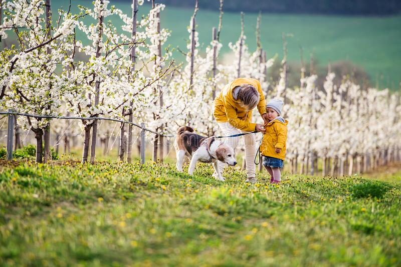 Front view of senior grandmother with granddaughter walking in orchard in spring. stock photo