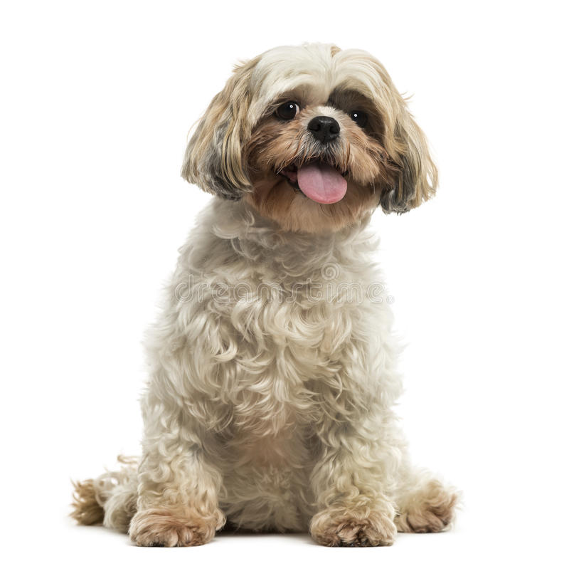 Front view of a Shih tzu sitting, panting, looking at the camera royalty free stock photo
