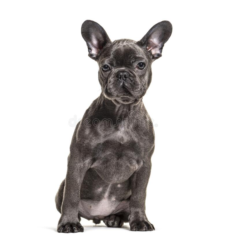 Front view of a sitting grey French bulldog, isolated royalty free stock photography