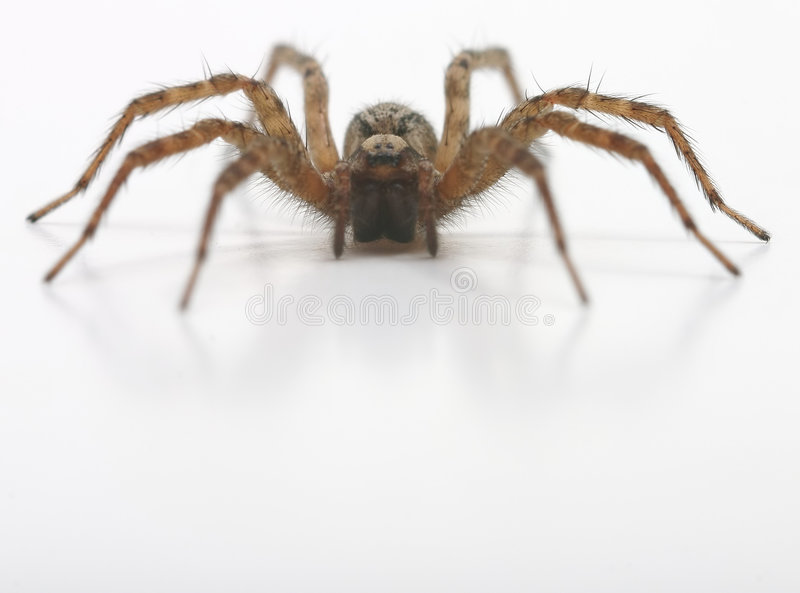 A front view of spider royalty free stock photos