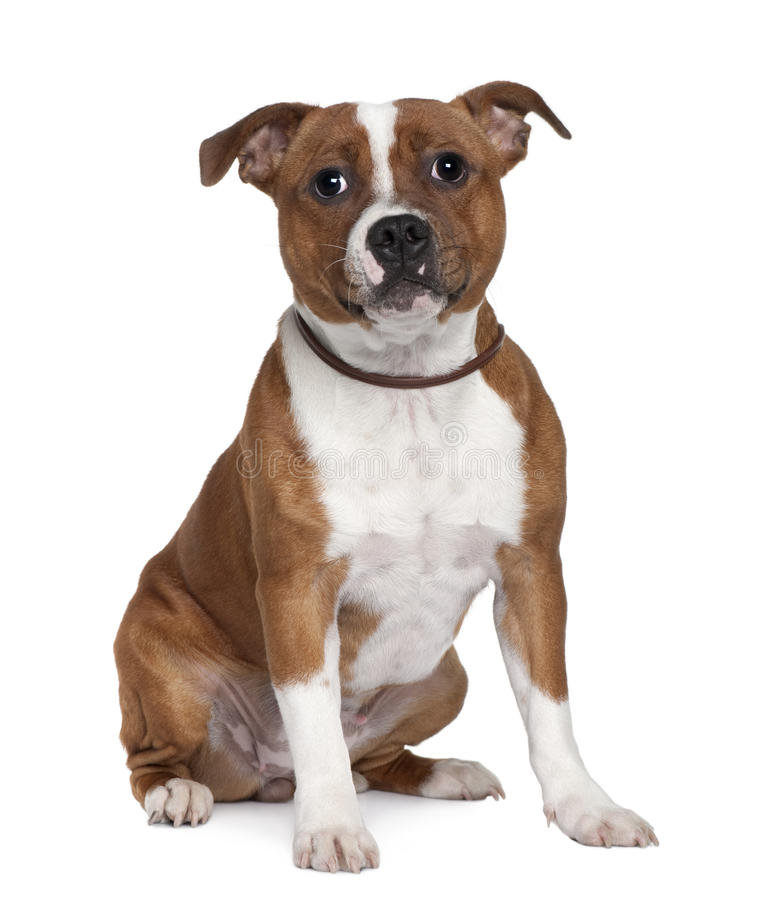 Front view of Stafford Bull Terrier, sitting royalty free stock photography