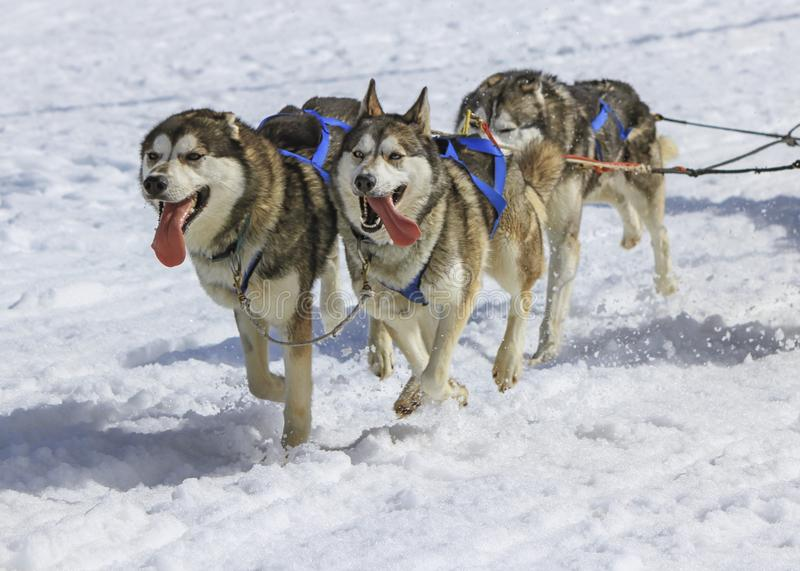 Three husky dogs at race in winter, Moss pass, Switzerland royalty free stock images