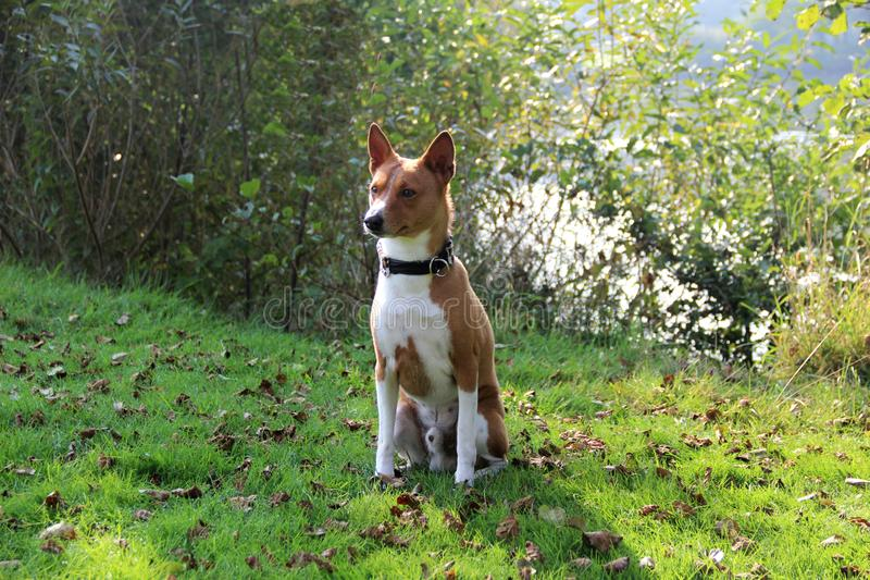 Front view of a two tone basenji in a natural landscape in meppen emsland niedersachsen germany. Photographed in color and crosswise during a walk in the nature royalty free stock photography