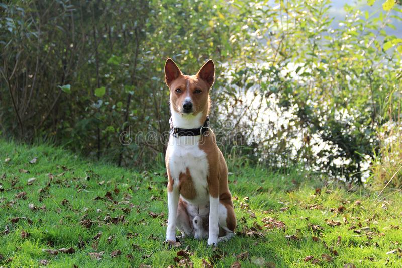 Front view of a two tone basenji sitting in a natural landscape and looking directly in the camera in meppen emsland niedersachsen. Germany photographed in royalty free stock photography