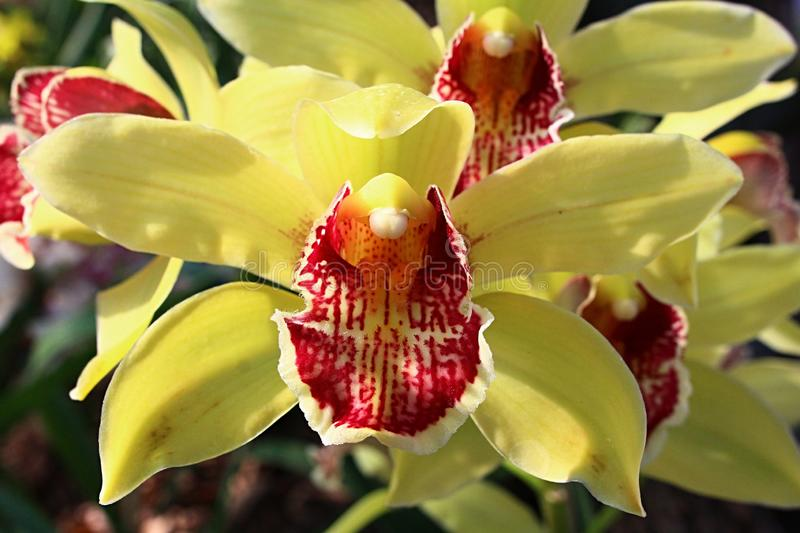 Front view of two yellow orchid flowers of Cymbidium kind with patchy yellow to red lower labellum petal stock photos