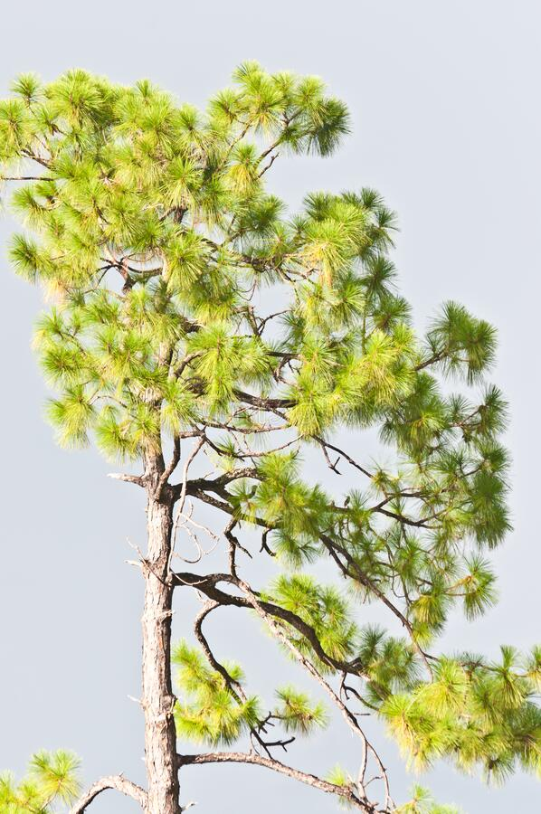 Southern pine tree with gray, thunder clouds as background royalty free stock images