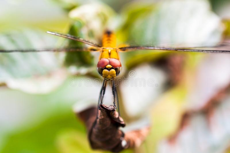 Front view of Yellow Dragonfly. With wide wings resting on dry leaf, found in Kerala, India stock images