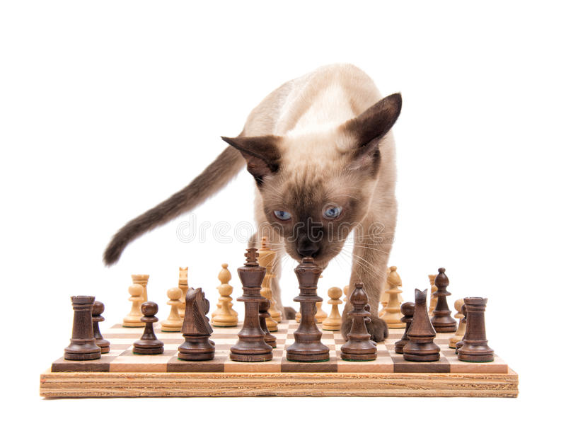 Front view of a young Siamese cat inspecting the Queen on a chessboard. Isolated on white stock images