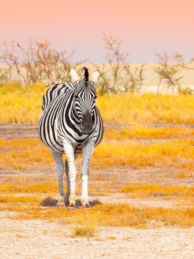 Front view of zebra in savanna. Etosha National Park, Namibia, Africa stock photo
