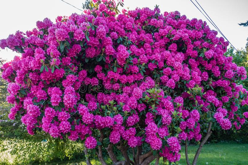 Front Yard Pink Rhododendron 2 immagine stock libera da diritti