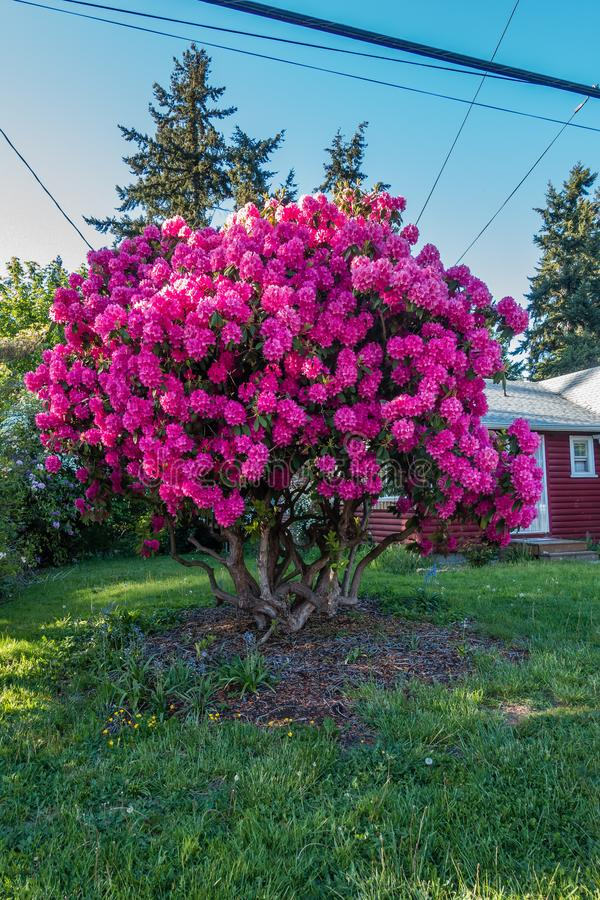 Front Yard Pink Rhododendron immagine stock