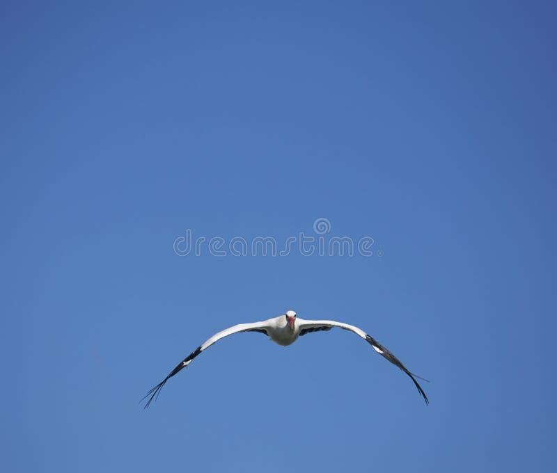 Frontaal beeld van een vliegende ooievaar op blauwe hemelachtergrond royalty-vrije stock fotografie