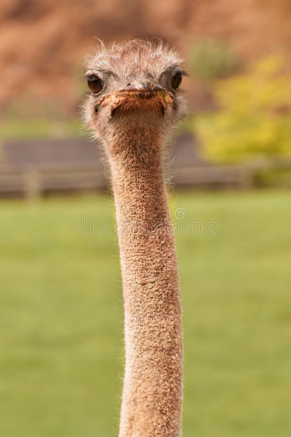 Frontal close-up of an ostrich with eye-catching expression stock image