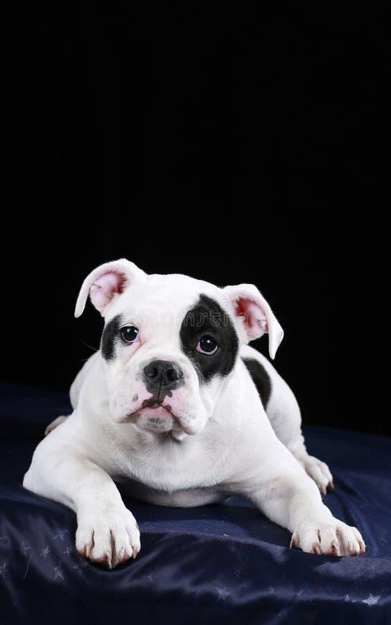 Frontal de encontro do cachorrinho inglês velho bonito do buldogue fotografia de stock royalty free