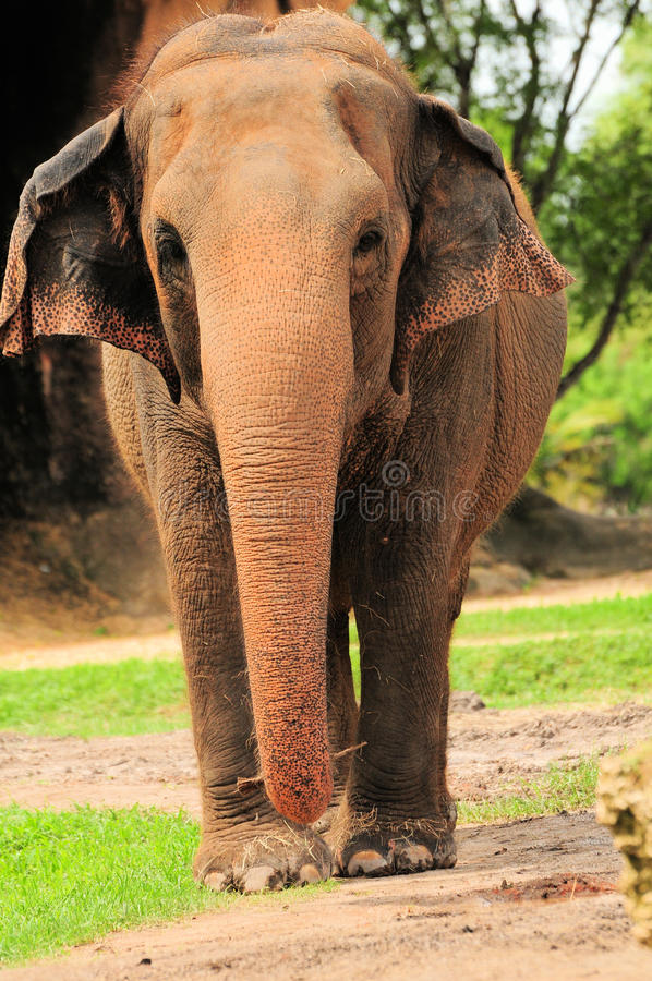 Download Frontal Elephant stock image. Image of trunk, females - 20723189