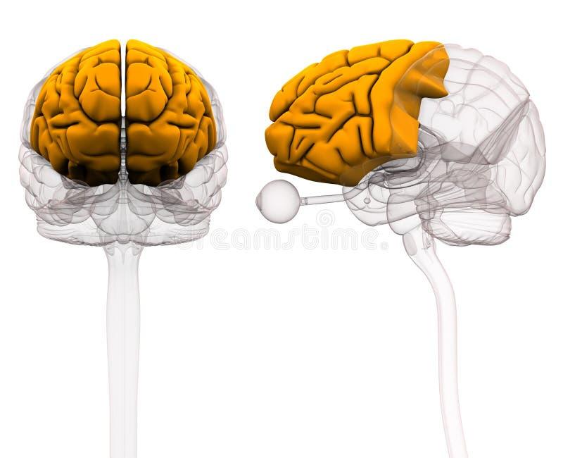 Frontal Lobe Brain Anatomy - 3d Illustration Stock Illustration ...