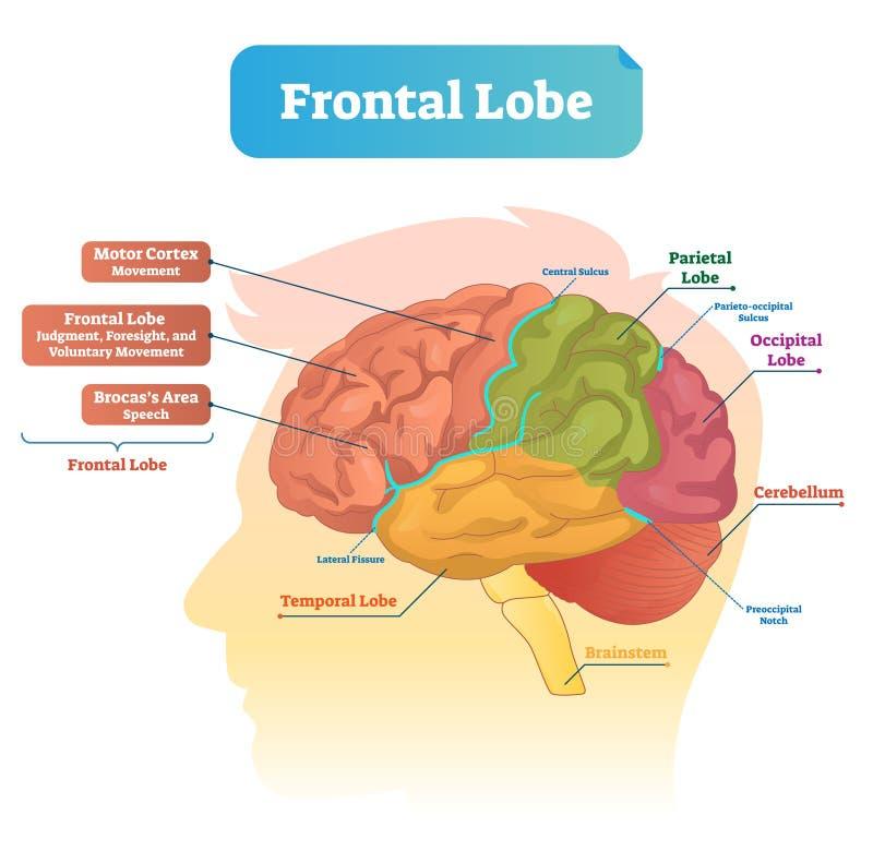 Frontal lobe vector illustration. Labeled diagram with brain part structure. Scheme with motor cortex, Brocas area, parietal, occipital lobe and cerebellum stock illustration