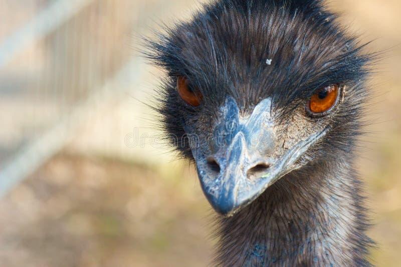Frontal mal-humorado do Emu fotografia de stock