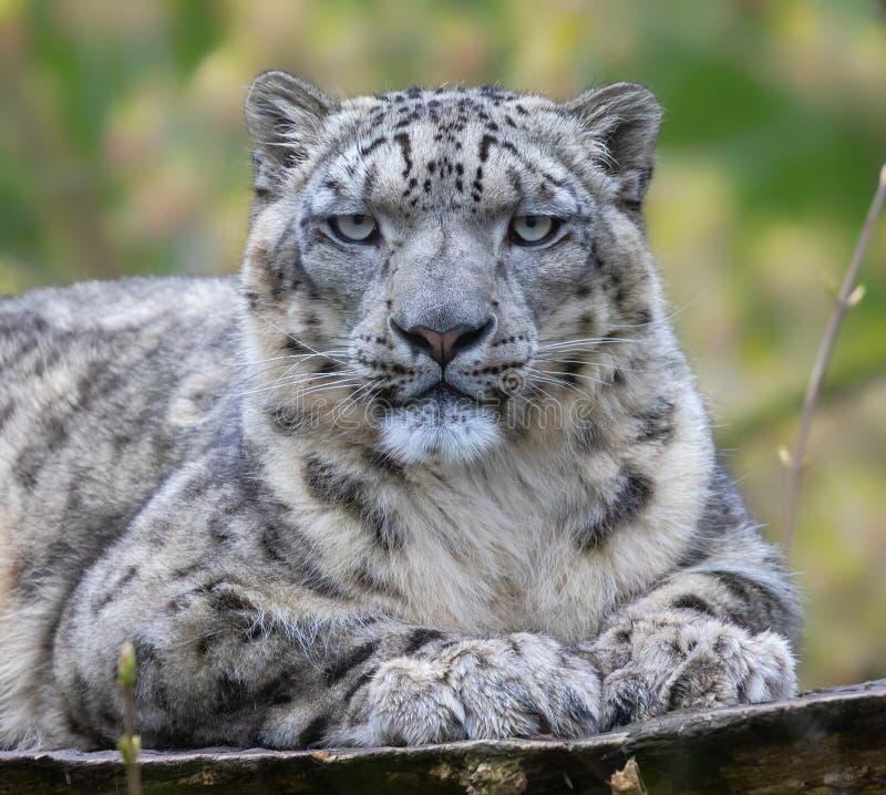 Frontal närbild av en snöleopard royaltyfri bild