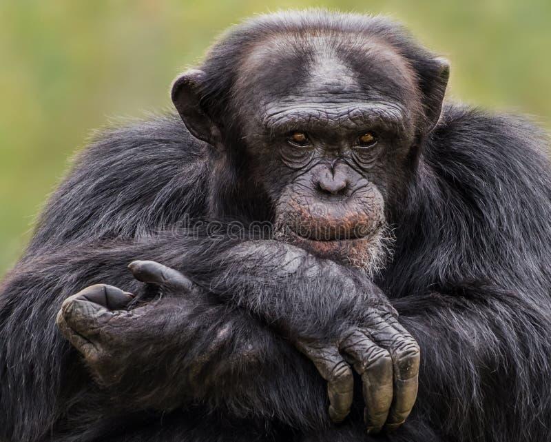 Chimpanzee XXX stock photo