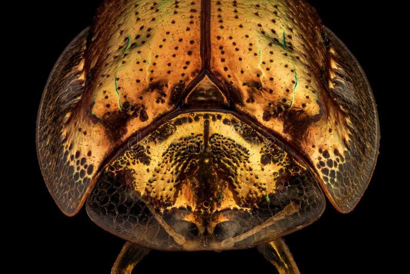 Frontal sikt av en guld- sköldpaddaskalbagge royaltyfria bilder