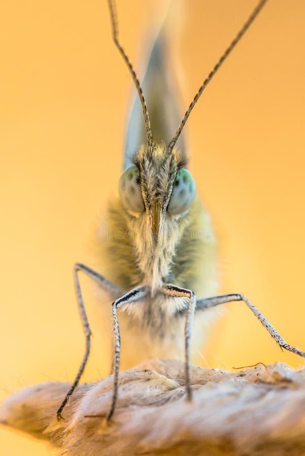 Frontal slut upp av fjärilsbadvit royaltyfri foto